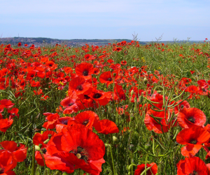 papaver_rhoeas_poppy_field